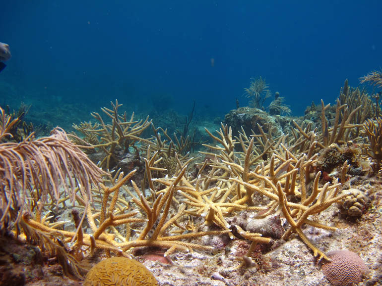 Staghorn coral thicket outplanted at Great St. James on  St. Thomas USVI